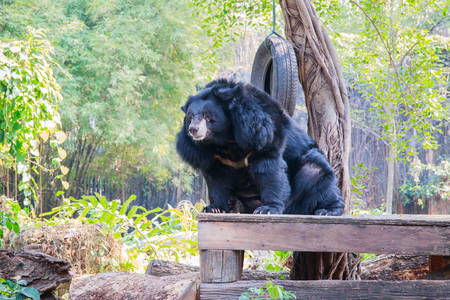 sit down: Asiatic black bear (Ursus thibetanus) sit down on the table with nature background