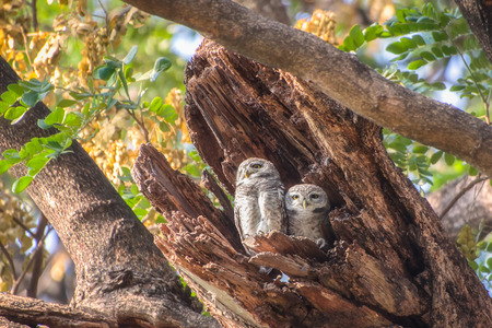 hollow tree: Two Little Owls in a hollow tree Stock Photo