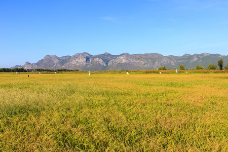 Landscape of yellow rice field in Khao Sam Roi Yot National Park, Thailand Standard-Bild