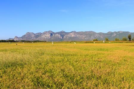 Landscape of yellow rice field in Khao Sam Roi Yot National Park, Thailand Stockfoto