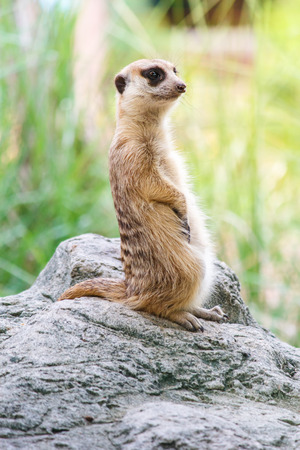eyes cave: Portrait of meerkat on the rock with nature frame Stock Photo