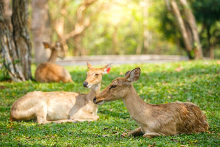 Deers sleeping on grass in soft morning light