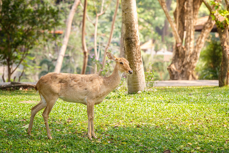 Deer stag in soft morning light
