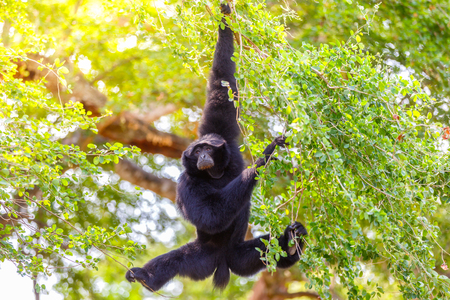pulau: Gibbon hung from a tree to the ground at Pulau Jawa, Indonesia Stock Photo