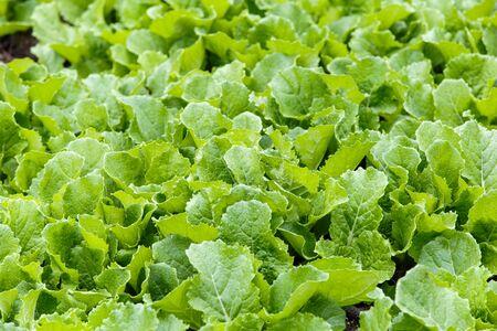 mustard leaf: Leaf mustard greens grow a vegetable garden