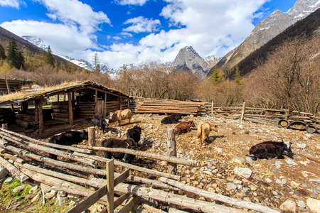 four peaks wilderness: The yaks in the Four Maidens Mountain (Mt. Siguniangshan) Scenic Area is an unspoiled wilderness park located in western china and Qiang Autonomous Prefecture, Sichuan Province, China