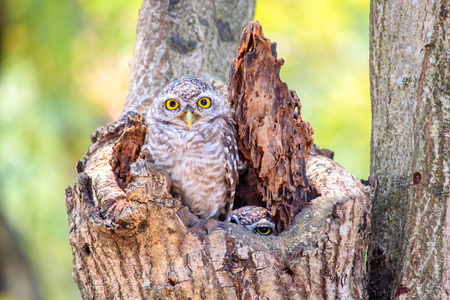 hollow tree: Little Owls in a hollow tree