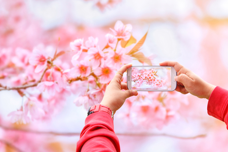android tablet: Smartphone photographing Sakura flowers blooming. Beautiful pink cherry blossom in the pastel color style for background Stock Photo