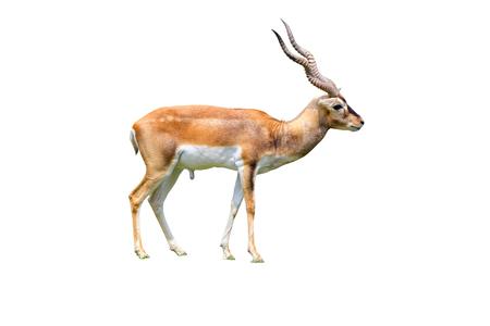 gazelle: Thomsons gazelle by horn isolated white background