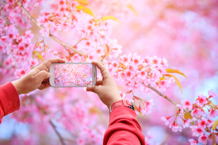Smartphone photographing Sakura flowers blooming. Beautiful pink cherry blossom in the pastel color style for background Stock Photo