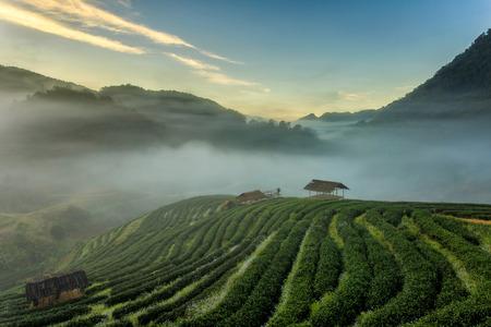 차 농장 아름 다운 풍경 Doi Ang Khang 치앙마이, 태국에서 Doi 유명한 관광 명소 스톡 콘텐츠