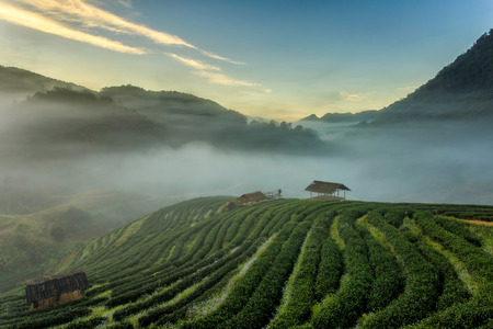 Tea plantation beautiful landscape famous tourist attraction at Doi at Doi Ang Khang Chiang Mai, Thailand
