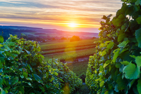Champagne Vineyards at sunset, Montagne de Reims, France 版權商用圖片