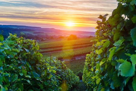 Champagne Vineyards at sunset, Montagne de Reims, France Standard-Bild