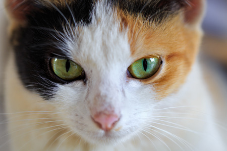 furred: Close up of cute eyed siamese cat