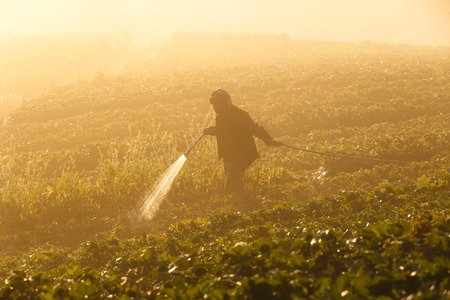 Worker harvesting strawberry in strawberry field at Doi Ang Khang Chiang Mai, Thailand