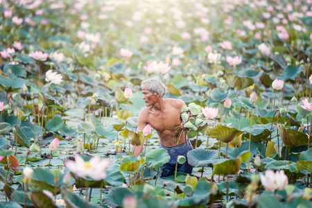Old man thai farmer grow lotus in the season. They were soaked with water and mud to be prepared for harvest to sell  Stock Photo