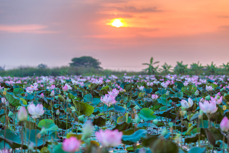nympha: Sea of pink and red lotus at Ayutthaya Thailand (unseen in Thailand) Stock Photo