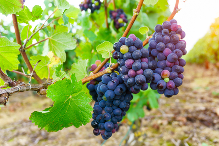 Gros plan des raisins de vigne dans la région du champagne en récolte d'automne, Reims, France Banque d'images - 80057168