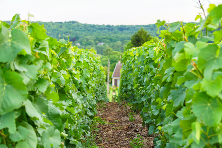 Close up row vine green grape in champagne vineyards at montagne de reims on countryside village background, France