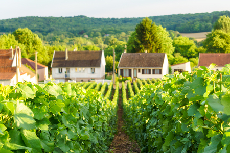 pinot: Close up row vine green grape in champagne vineyards at montagne de reims on countryside village background, France