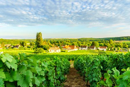 시골 마 배경, 프랑스에 montagne 드 reims에서 샴페인 포도 원 행 포도 나무 녹색 포도 스톡 콘텐츠