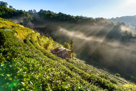 Tea plantation beautiful landscape famous tourist attraction at Doi at Doi Ang Khang, Chiang Mai, Thailand Stock Photo