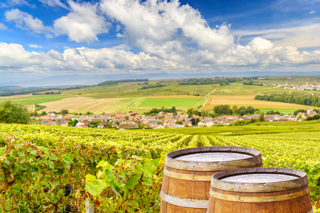 Champagne vineyards with old wooden barrel on row vine green grape in champagne vineyards background at montagne de reims, France