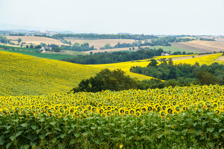 Field of sunflower with Vosges Mountains background in Alsace, France