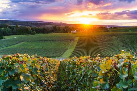 Row vine grape in champagne vineyards at montagne de reims, France Standard-Bild