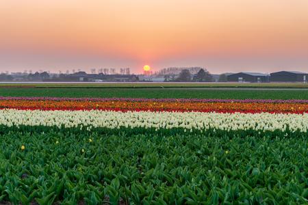 Piękny zachód słońca na polu tulipanów, Amsterdam, Holandia