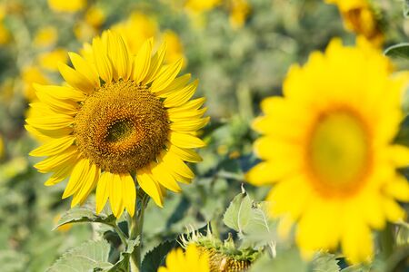 Beautiful sunflowers in spring field and the plant of sunflower is wideness plant in travel location, Lopburi Province, Thailand