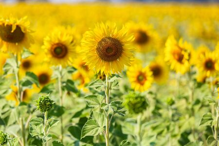 Beautiful sunflowers in spring field and the plant of sunflower is wideness plant in travel location, Lopburi Province, Thailand 스톡 콘텐츠
