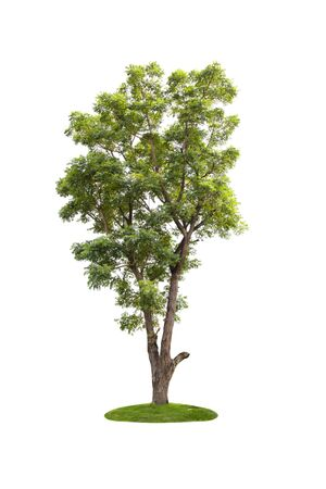 Large green tree isolated on white background