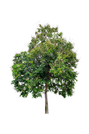 Beautiful green tree (Lagerstroemia floribunda) isolated on white background.