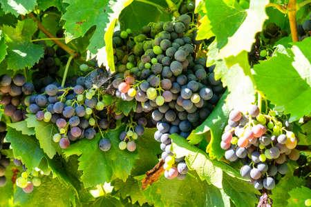 Vine grape in champagne vineyards at montagne de reims, France