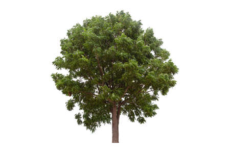Large green tree (Neem Tree) isolated on white background.