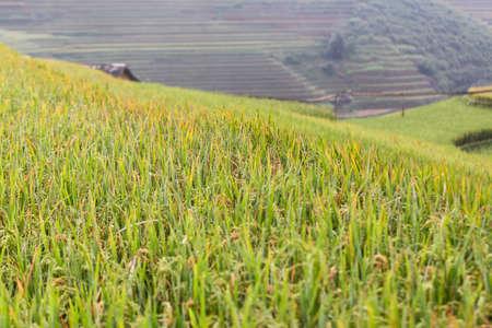 Terraced rice paddy field landscape of Mu Cang Chai, Yenbai, Northern Vietnam