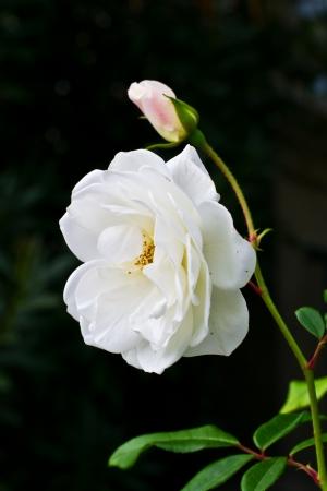 Fresh white beautiful rose flower macro shot