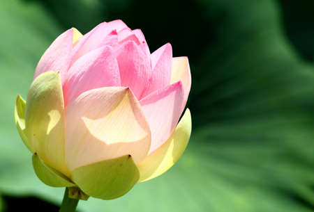 Flower of a lotus in the nature
