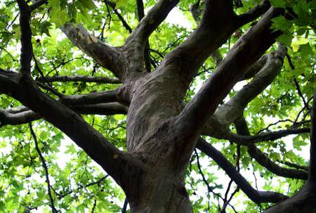 branchy: Branchy tree trunk Stock Photo