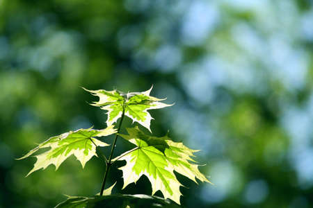 Maple leaves illuminated by the sun's rays in the park Stock Photo - 6762022