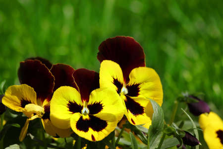 Viola tricolor hortensis in the spring in city park photo