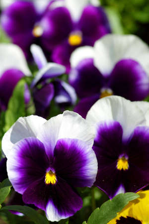 Viola tricolor hortensis in the spring in city park Stock Photo - 6911953