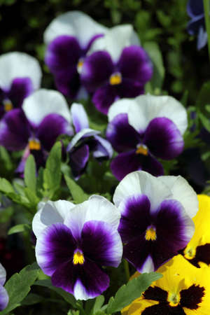 Viola tricolor hortensis in the spring in city park Stock Photo - 6911954