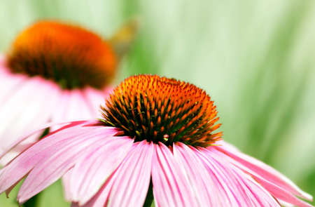 Echinacea flower in the summer in the city park