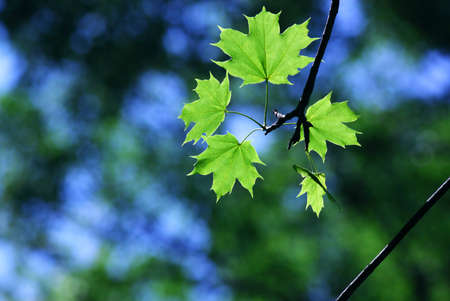 Green maple leaves in city park in the spring afternoon photo