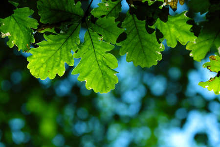 Oak leaves in city park in the spring afternoon