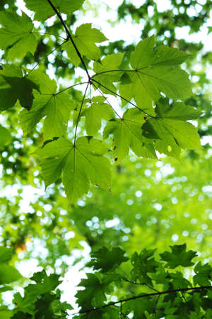 Green maple leaves in city park in the spring afternoon