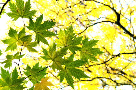 autumn in the city: Autumn, maple leaves in a city park